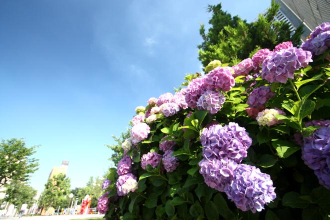 錦糸公園の紫陽花