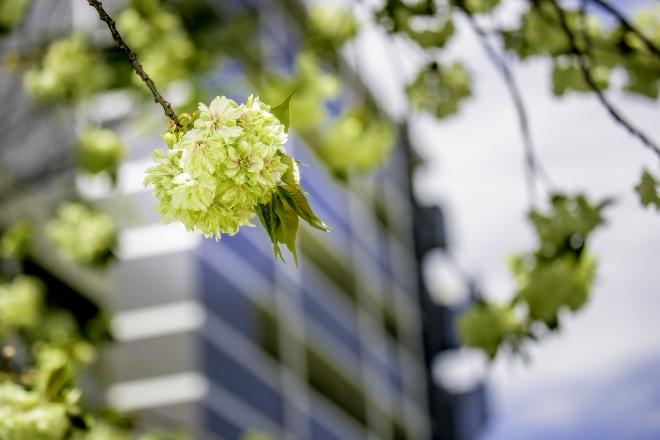 墨田区のウコン(桜)