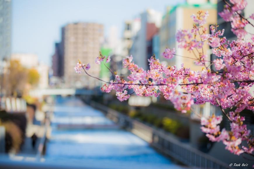 スカイツリーの河津桜