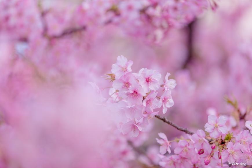 墨田区錦糸公園の桜の様子