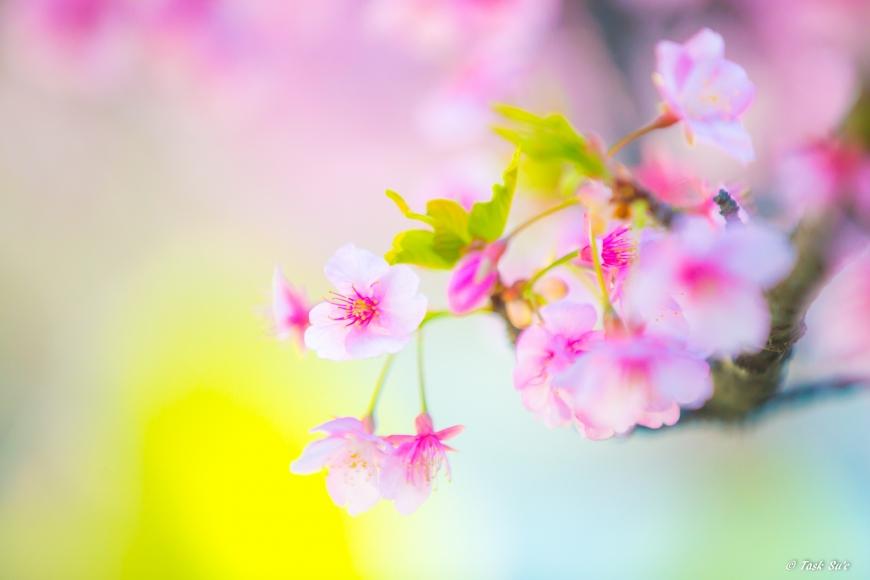 墨田区錦糸公園の桜