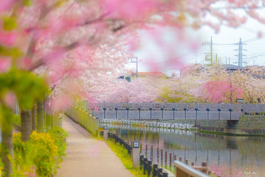 江戸川区新川の桜