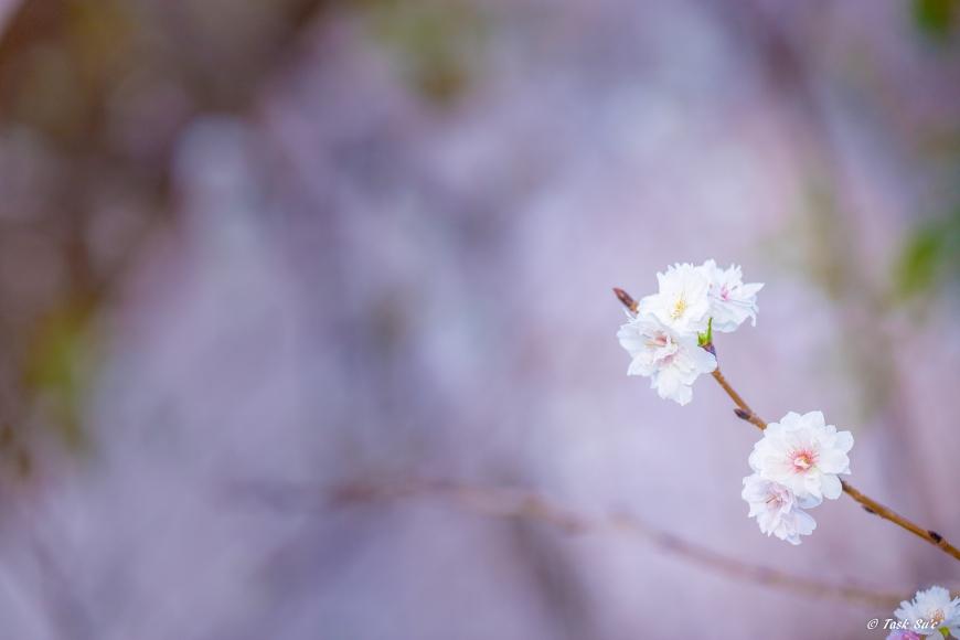 冬桜(十月桜)墨田区