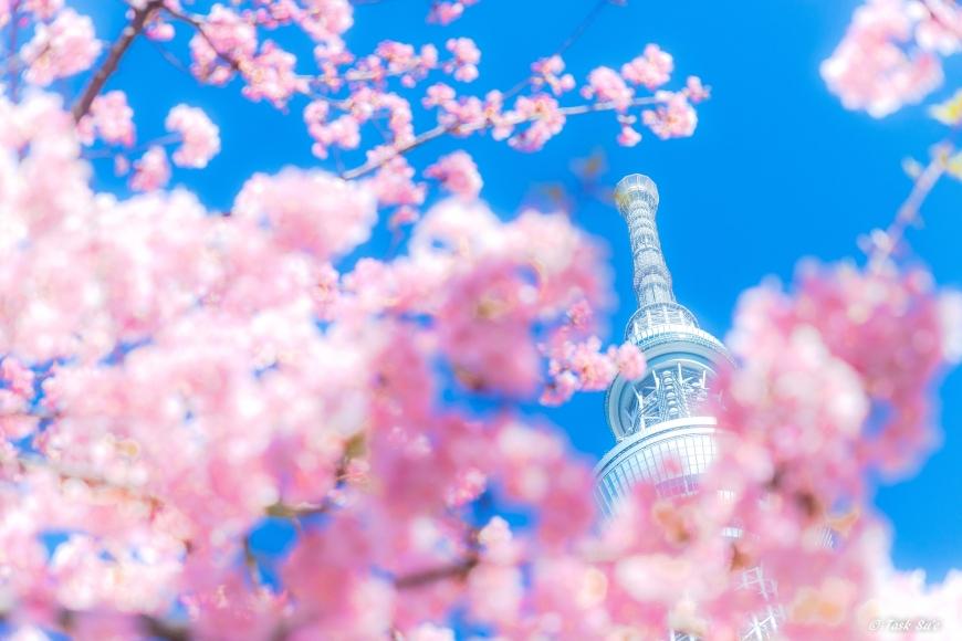 墨田区の桜