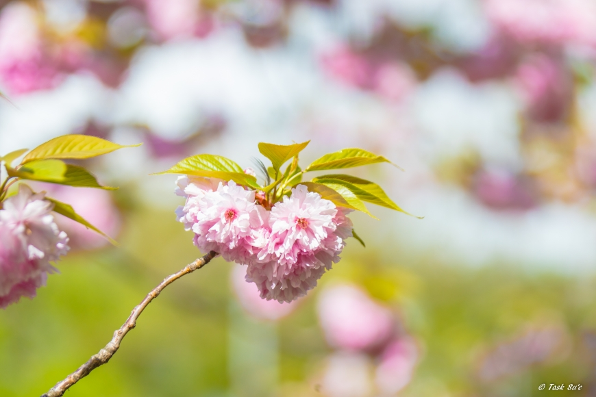 v墨田区の八重桜(カンザン)