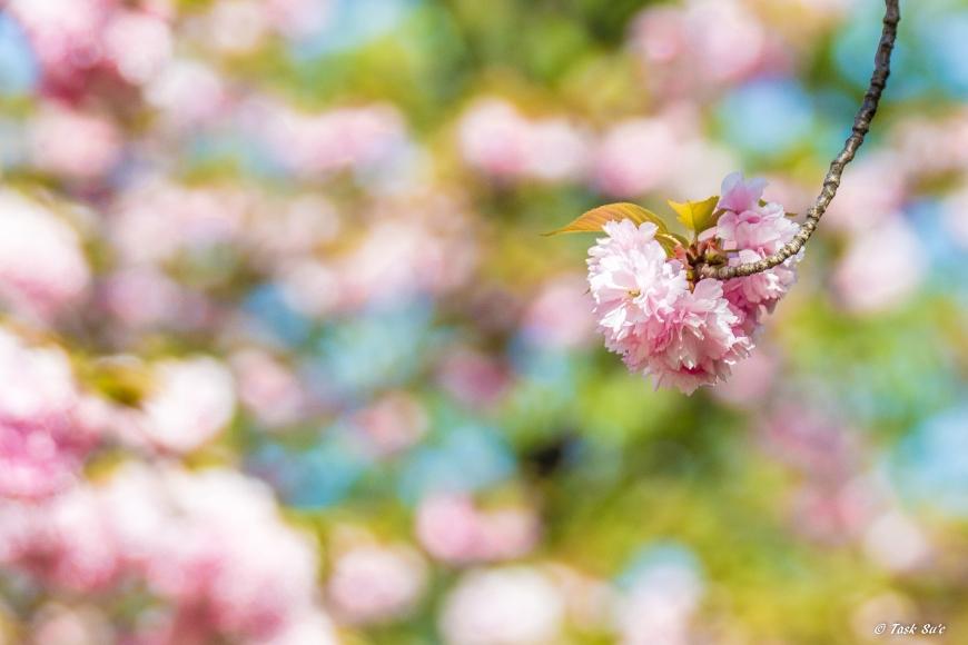 錦糸公園の八重桜(カンザン)